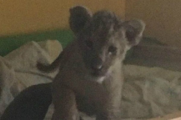 Έκρυβε λιονταράκι μέσα σε διαμέρισμα και ήθελε να το... πουλήσει 10.000 ευρώ!