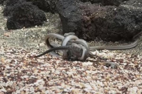 Το μεγαλείο της φύσης: Επική μάχη ιγκουάνα με φίδια! Ποιος κερδίζει; (video)