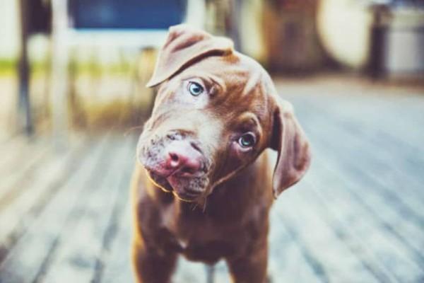 Γιατί τα σκυλιά γέρνουν το κεφάλι τους όταν τους μιλάμε;