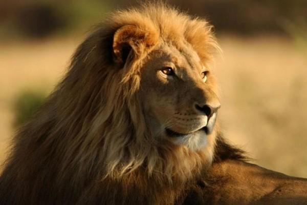 Δεν πίστευαν στα μάτια τους: Σταμάτησαν Lamborghini για έλεγχο και βρήκαν… ένα λιοντάρι! (Video)