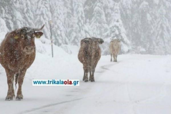 Τρίκαλα: Οι γελάδες βγήκαν στους χιονισμένους δρόμους  και έφαγαν το...αλάτι!