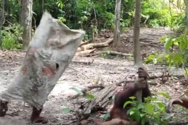 Το απίστευτο βίντεο που έγινε viral! - Ουρακοτάγκος έχει ντυθεί… φάντασμα και το απολαμβάνει!