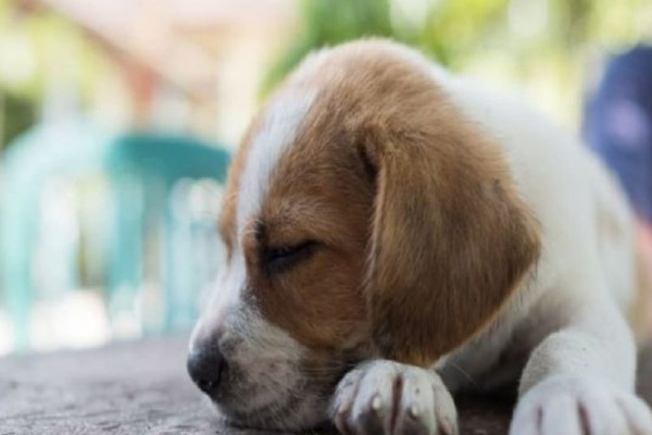 Λονδίνο: Εκλάπη σκυλίτσα και βρέθηκε 483 χλμ. από το σπίτι του!