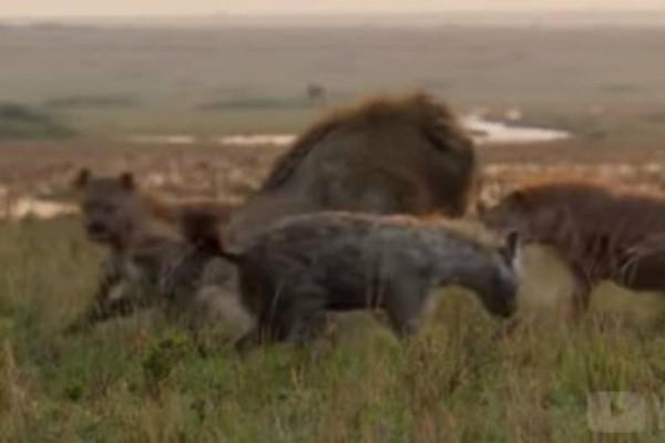 Βίντεο σοκ: Λιοντάρι μάχεται ενάντια σε 20 ύαινες!