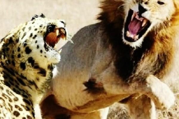 Βίντεο σοκ: Λιοντάρι κατασπαράζει ένα τσιτάχ