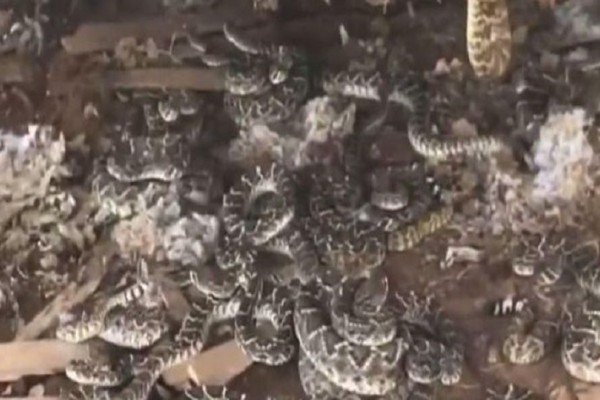 Φρίκη: Βρήκε κάτω από την καλύβα του δεκάδες κροταλίες! (video)