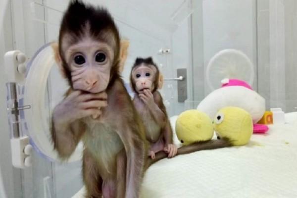 Κλωνοποίησαν 5 μαμουδάκια στην Κίνα! - Τα... αρρώστησαν για να πειραματιστούν επάνω τους! (Video)