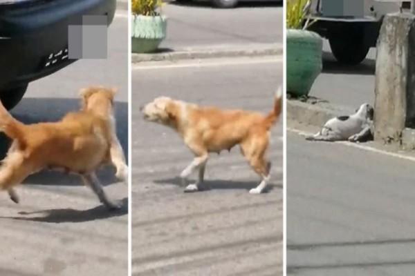 Μαμά σκυλίτσα γαβγίζει σε οδηγούς για να σταματήσουν και να σώσουν το κουτάβι της που το χτύπησε αυτοκίνητο! (photos+video)