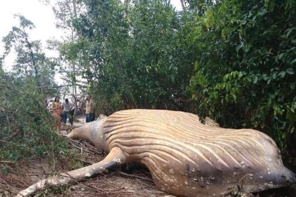 Βραζιλία: Φάλαινα βρέθηκε νεκρή στη ζούγκλα του Αμαζονίου!