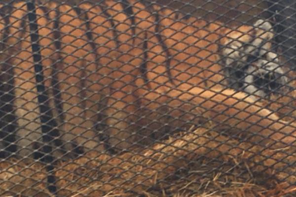 Έκανε διάρρηξη σε γκαράζ για να στρίψει «τσιγάρο» και μέσα βρήκε μία τεράστια τίγρη