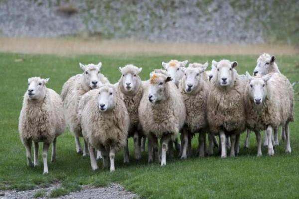 Απίστευτο! Γονιμοποίησαν πρόβατα με σπέρμα από το 1968!