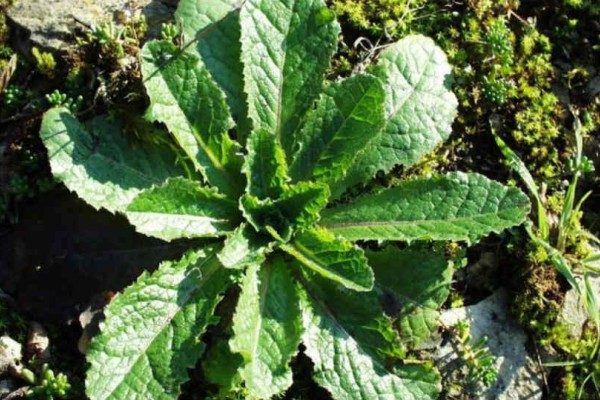 Το καλύτερο φάρμακο: Αυτό είναι το βότανο του Ιπποκράτη που σταματά τον πόνο!