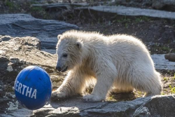 Bερολίνο: Μια κατάλευκη νεογέννητη πολική αρκουδίτσα!