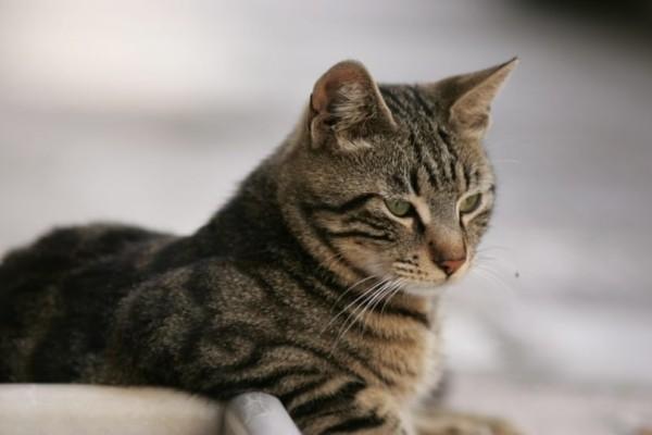 Αυστραλία: Θα σκοτώσουν εκατομμύρια γάτες πετώντας δηλητηριασμένα λουκάνικα από αεροπλάνα!