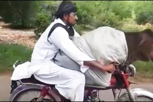 Αδιανόητο: Πήγε βόλτα την αγελάδα του με χηχανάκι! (Video)