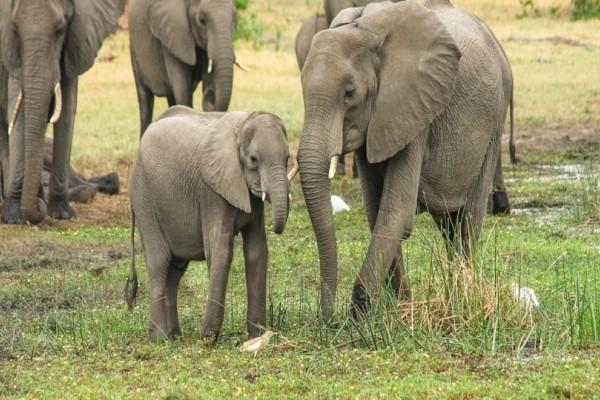 Ζιμπάμπουε: Πρόβλημα υπερπληθυσμού στους ελέφαντες και προχωρά σε πωλήσεις!