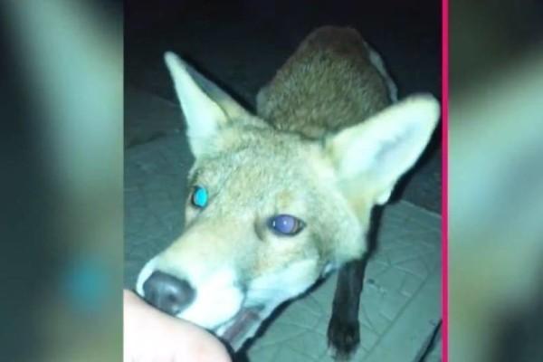 Προσπάθησε να γίνει φίλος με μια αλεπού αλλά έκανε λάθος! (Video)