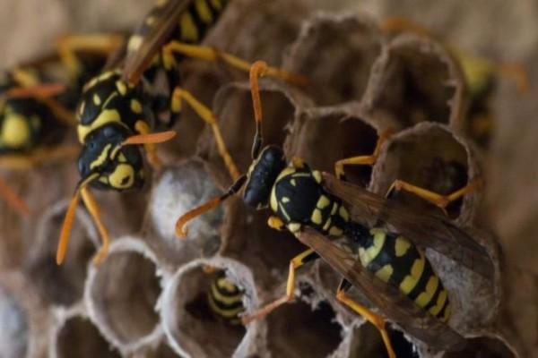 Έρευνα: Ενδείξεις ότι οι σφήκες επιδεικνύουν λογική που μοιάζει με την ανθρώπινη!