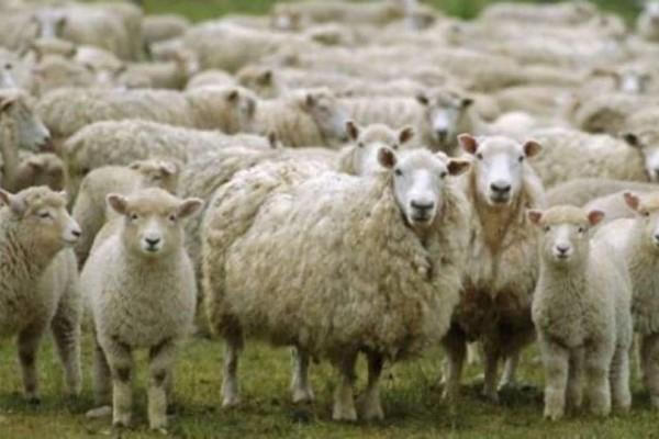 Μυστήριο στη Φθιώτιδα: Ένα ολόκληρο κοπάδι από πρόβατα βρέθηκε νεκρό!