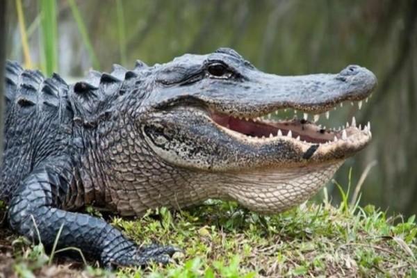 Φρίκη στην Φλόριντα: Ανθρώπινα οστά βρέθηκαν στο στομάχι αλιγάτορα! (Video)