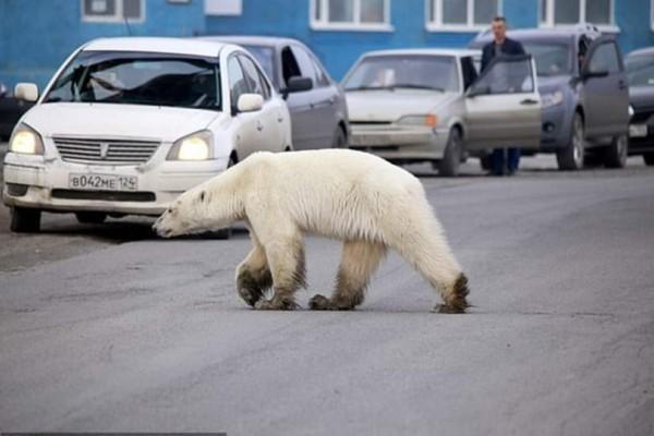 Σιβηρία: Eξουθενωμένη και άρρωστη πολική αρκούδα περιπλανιέται στην πόλη! (Video)