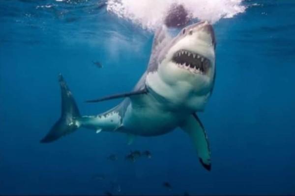 Λευκός καρχαρίας: Μόνο ένα ζώο τρέμει πραγματικά! (Video)