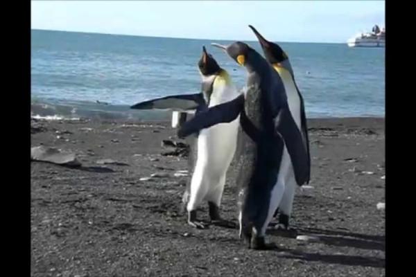 Απίστευτο: Πιγκουίνοι παίζουν