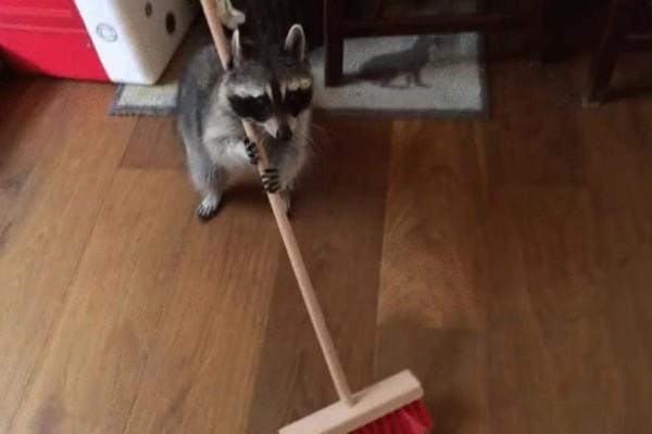Ρακούν σκουπίζει το σπίτι και ζητάει φαγητό! (Video)