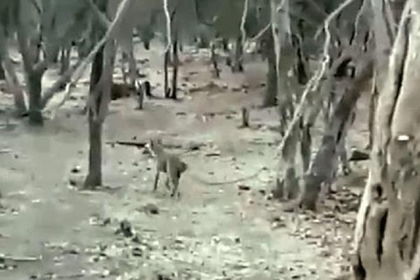 Το ένστικτο επιβίωσης ενός σκύλου για να ξεφύγει από τα δόντια μιας λέαινας! (video)