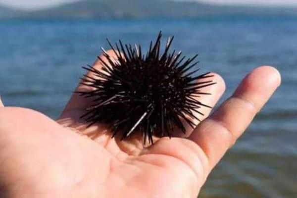 Αν μαζεύετε αχινούς στη θάλασσα..σταματήστε το τώρα!