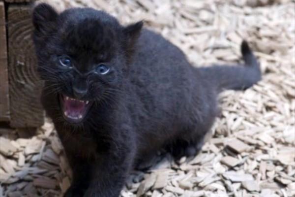 Το θαύμα της φύσης: Μωρό πάνθηρας υιοθετείται από...σκύλα! (Video)