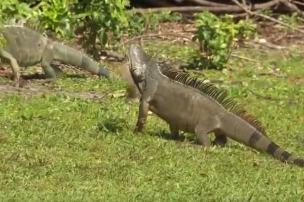 Φλόριντα: Tεράστια ιγκουάνα μπαίνουν σε σπίτια! (Video)