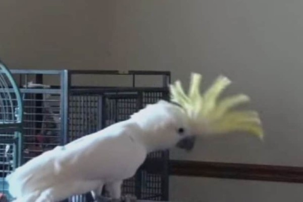 Παπαγάλος γίνεται viral με τις χορευτικές του ικανότητες! (Video)