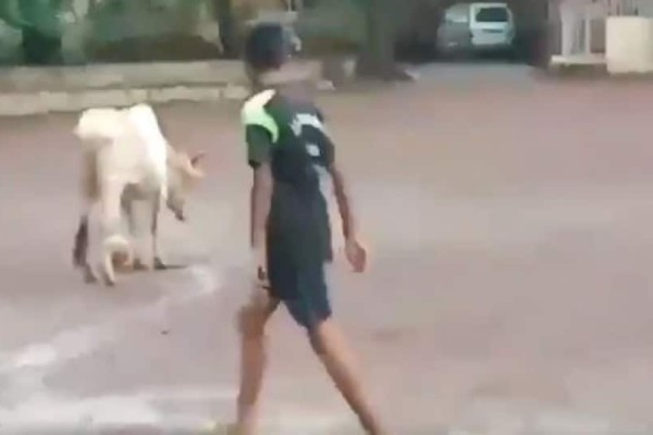 Ινδία: Aγελάδα παίζει ποδόσφαιρο και γίνεται viral! (Video)