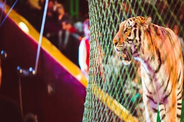 Ιταλία: Τίγρεις σε τσίρκο κατασπάραξαν θηριοδαμαστή!