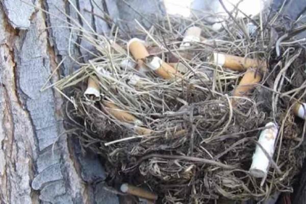 Γιατί τα πουλιά βάζουν αποτσίγαρα στις φωλιές τους?