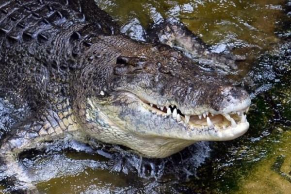 Απίστευτο: Άντρας κλώτσησε αλιγάτορα για να σώσει σκύλο!