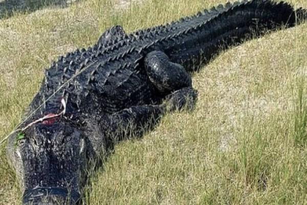 Φρίκη: Το πόδι και το χέρι ενός άνδρας βρέθηκαν στην κοιλιά κροκόδειλου 6 μέτρων!