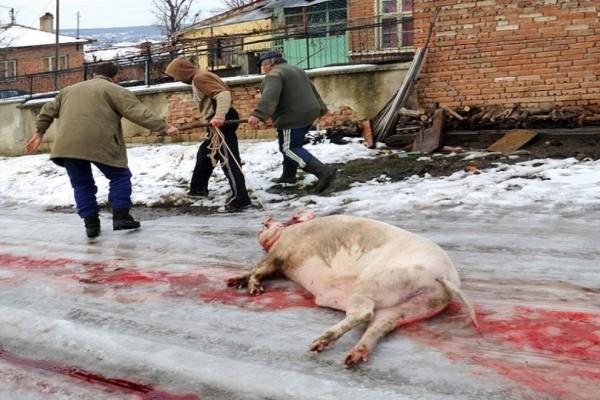 Βουλγαρία: Κρούσματα αφρικανικής πανώλης των χοίρων!