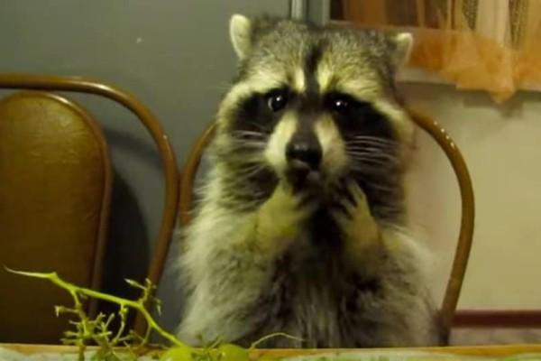 Το πιο γλυκό ρακούν του κόσμου τρώει σαν άνθρωπος! (Video)