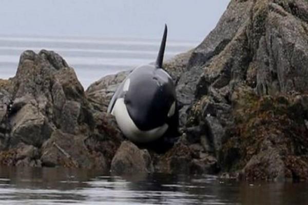Σπαρακτικό: Φάλαινα είχε κολλήσει για ώρες σε βράχια και έκλαιγε μέχρι να τη βρουν οι διασώστες!