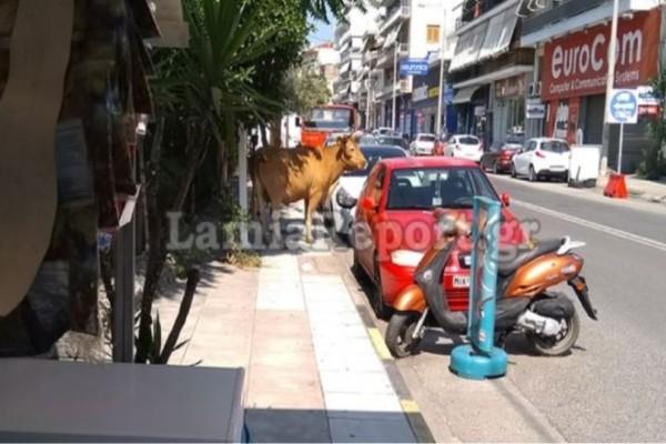 Απίστευτο: Κυνηγούσαν αφινιασμένο ταύρο στο κέντρο της Λαμίας!