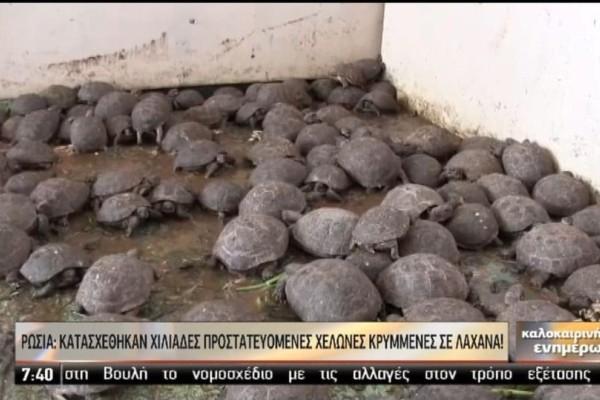 Χελώνες αξίας... 105.000€! (Video)