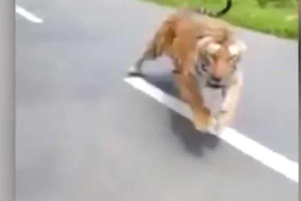 Σοκ: Τίγρη πετάχτηκε από το δάσος και άρχισε να τους κυνηγάει..(Video)