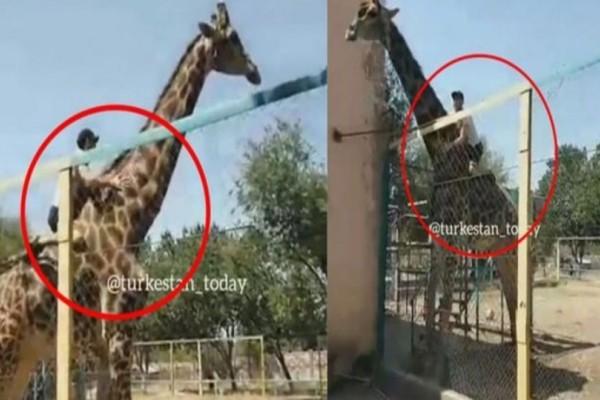 Μεθυσμένος πήδηξε το φράκτη ζωολογικού κήπου για να πάει βόλτα με καμηλοπάρδαλη! (Video)