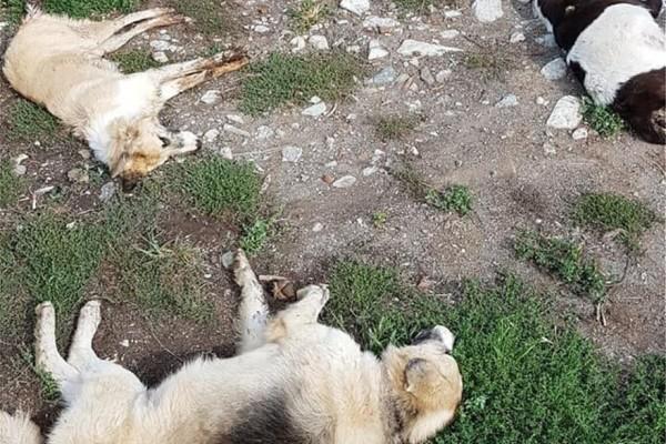 Τραγικό: Σκότωσαν με φόλες 26 σκύλους!