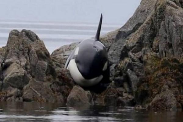 Σπαρακτικό: Φάλαινα είχε κολλήσει για ώρες σε βράχια και έκλαιγε μέχρι να τη βρουν οι διασώστες! (Photos+Video)