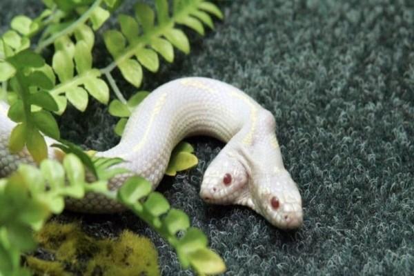 ΗΠΑ: Δικέφαλο φίδι ανακαλύφθηκε σε δάσος!