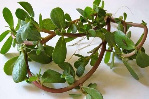 Γλιστρίδα-αντράκλα, ένα θεραπευτικό φυτό με ιστορία άνω των 2.000 ετών