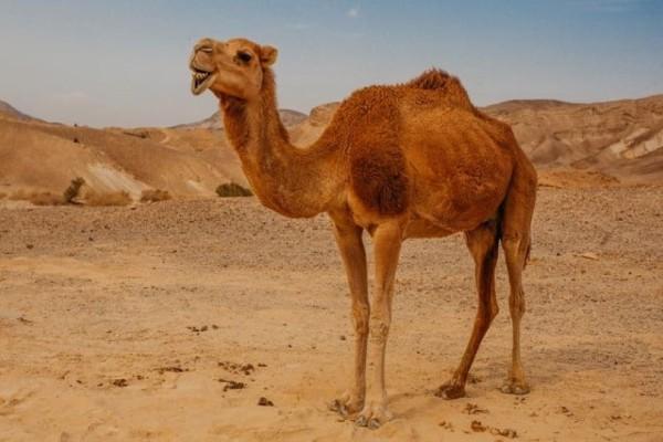 Αμερικανίδα δάγκωσε καμήλα στα... γεννητικά όργανα!